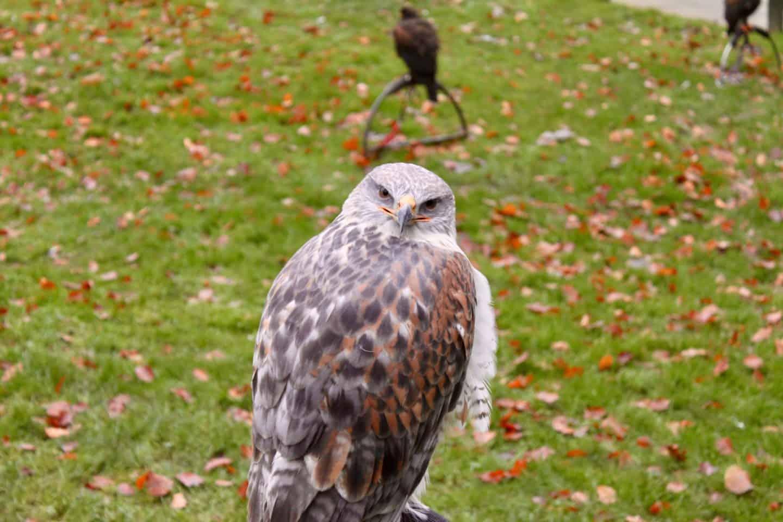 Falconry at Dalhousie Castle near Edinburgh