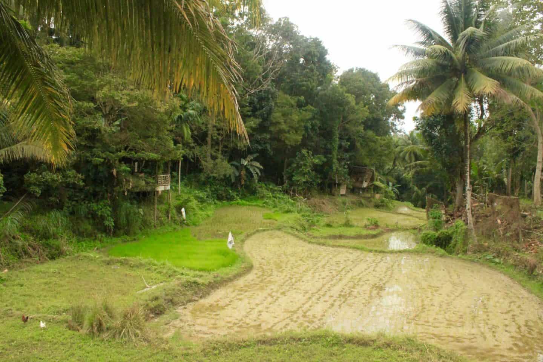 Bohol's rice paddies