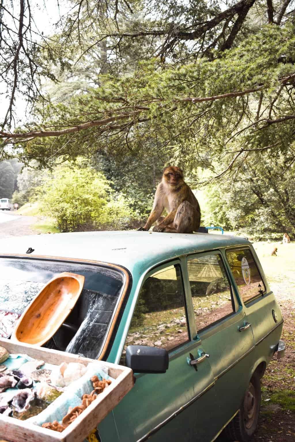 Monkeys in Azrou, Morocco