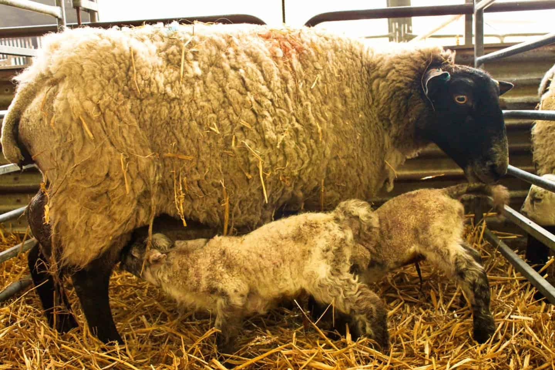 Playing with Newborn Lambs near London
