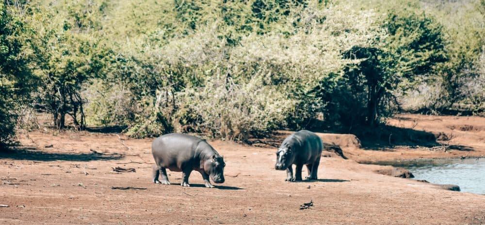 Hippos in Kruger National Park