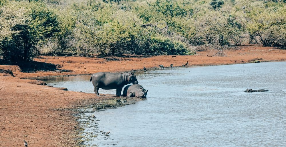 hippos swimming at Kruger National Park