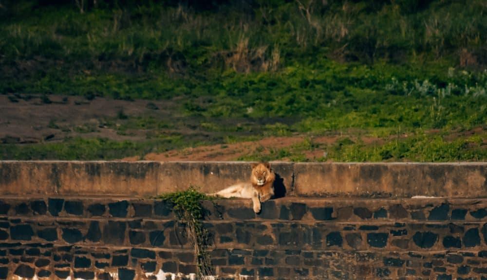 a lion sunbathing at Kruger national park
