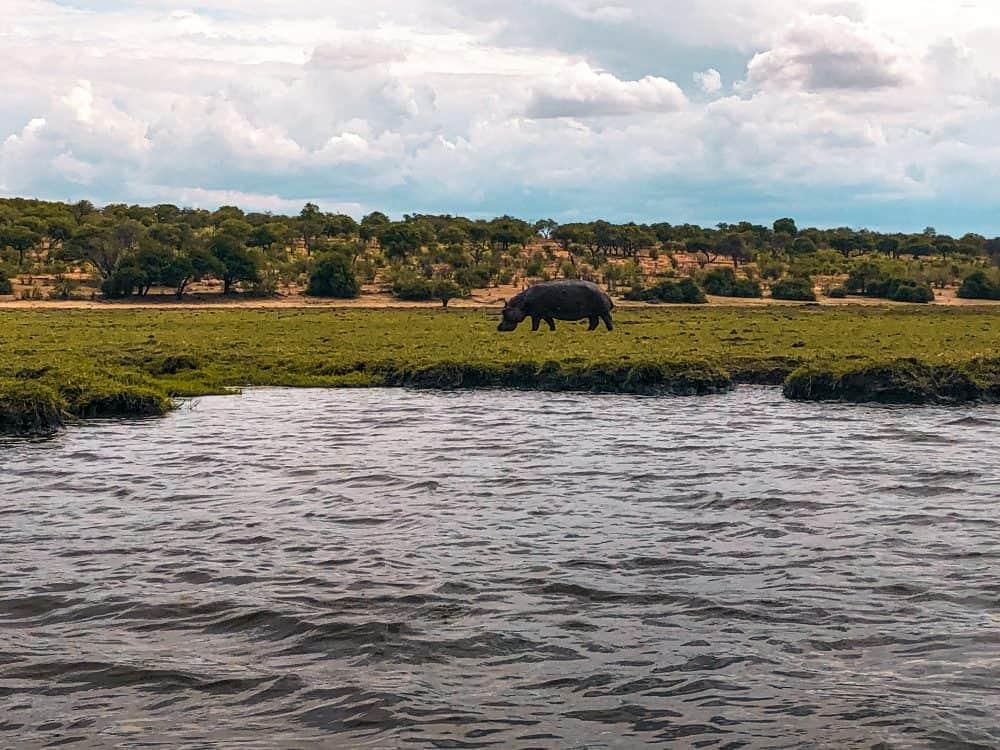Hippo on the Chobe River in Botswana