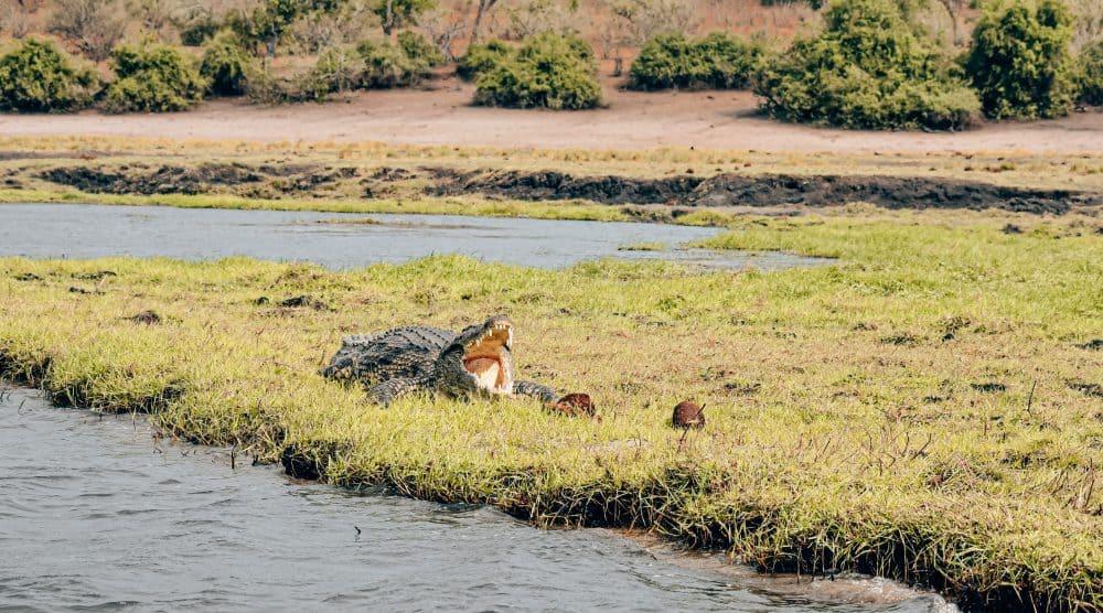 Crocodile at Chobe National Park