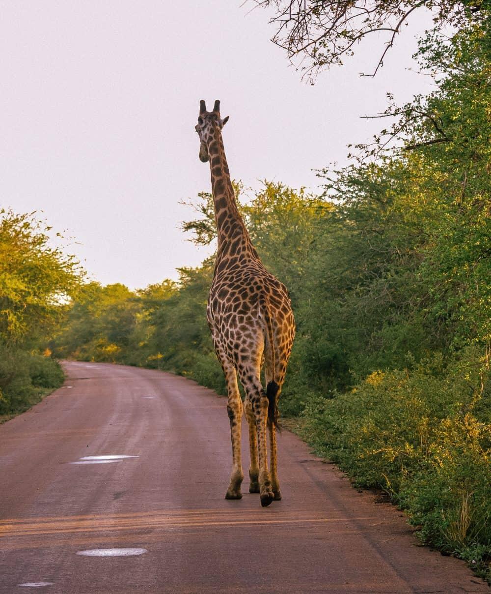 Giraffes at Chobe National Park, Botswana