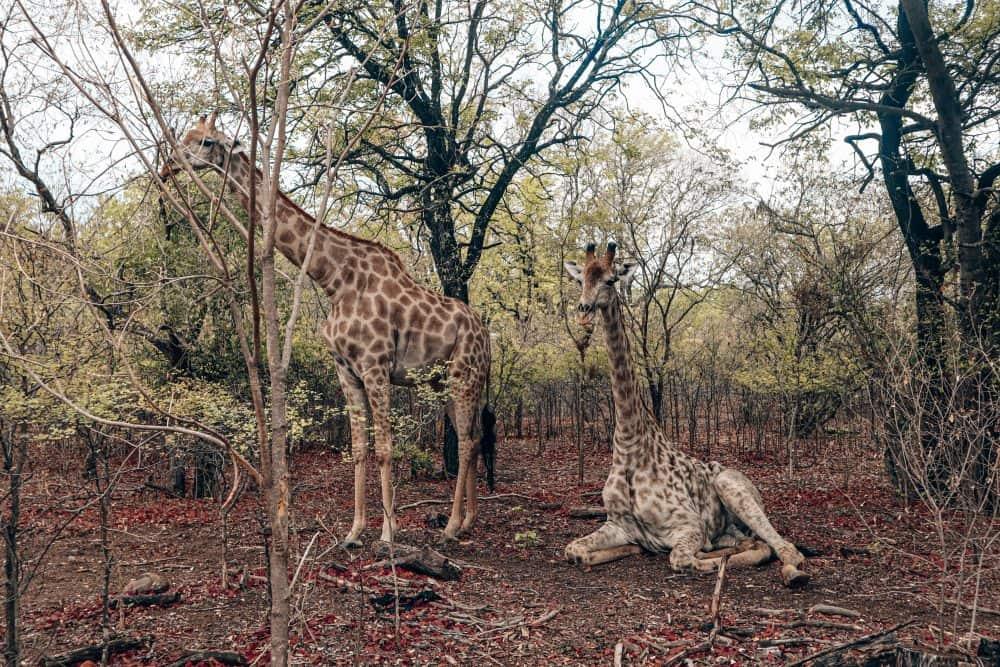 Giraffes in Victoria Falls, Zambia