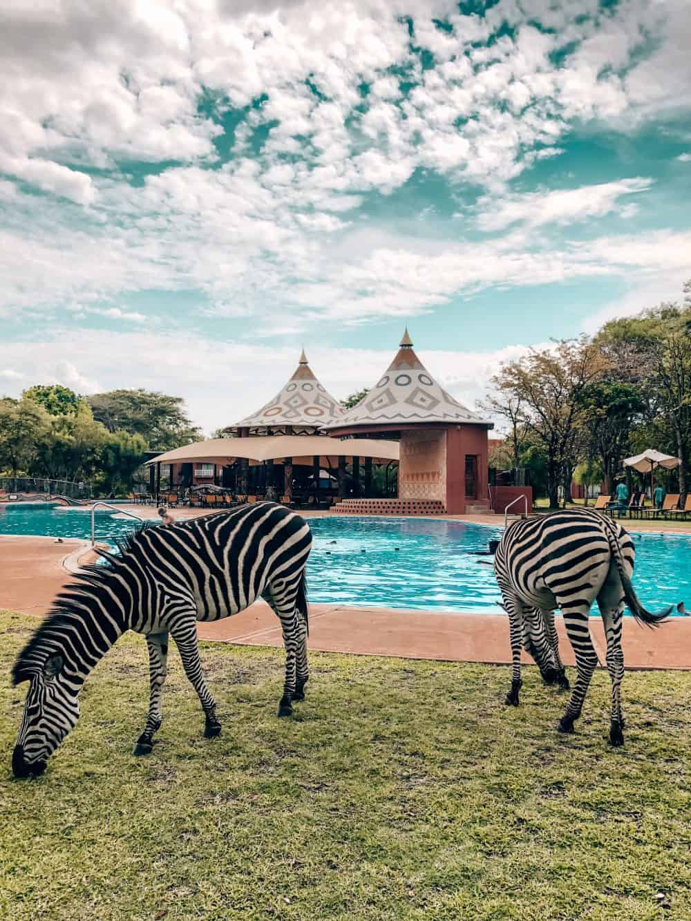 Zebras by the pool at the Avani Victoria Falls Resort