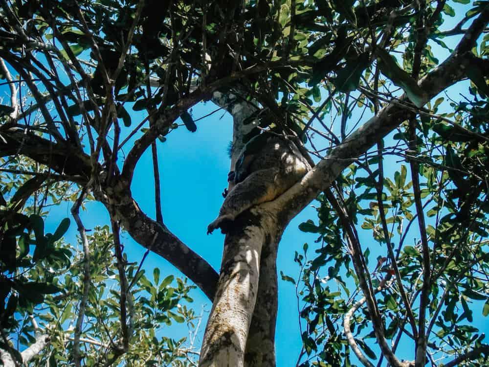 Spotting koalas in Noosa Heads National Park