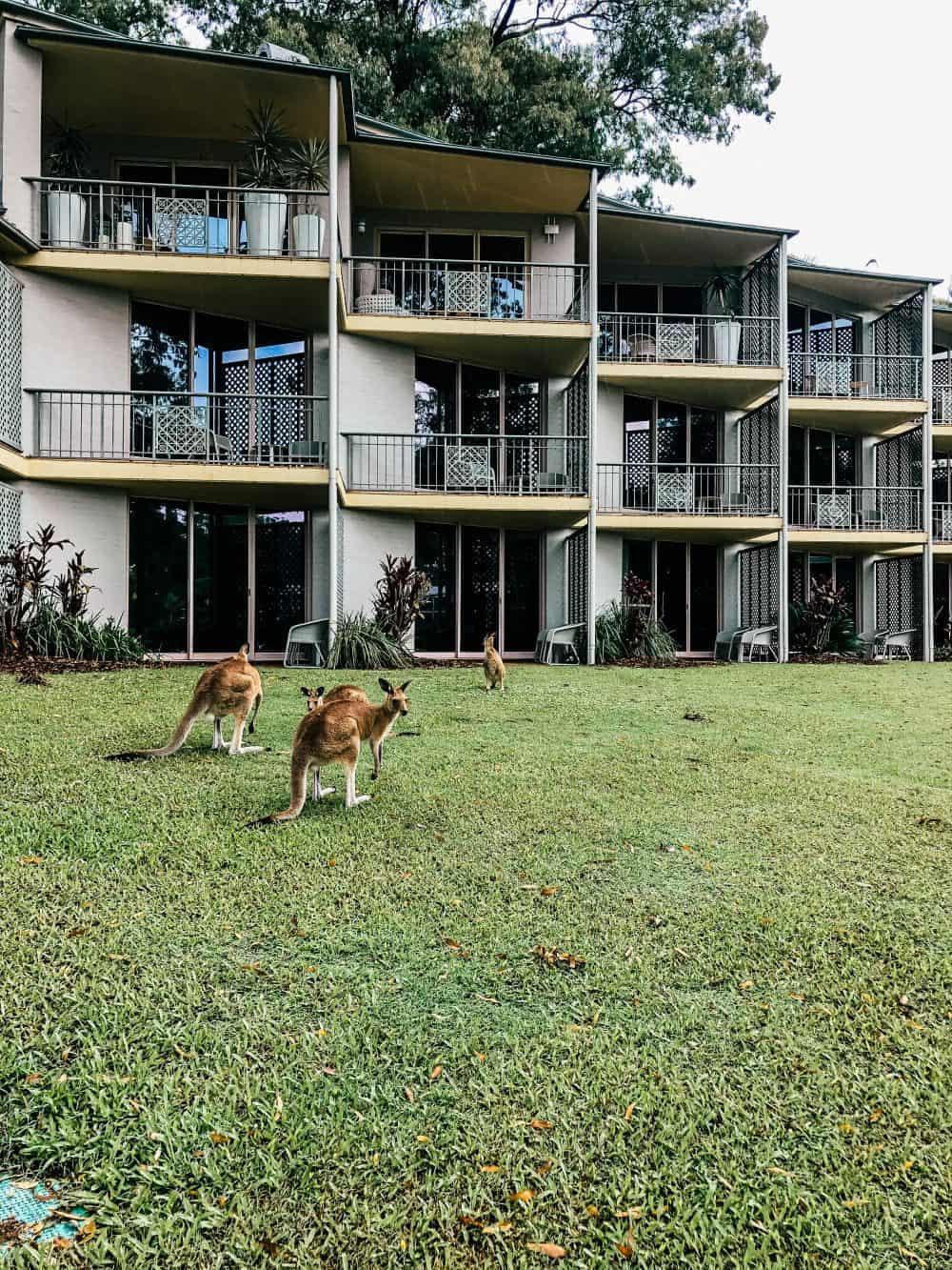 Kangaroos at the InterContinental Sanctuary Cove Resort