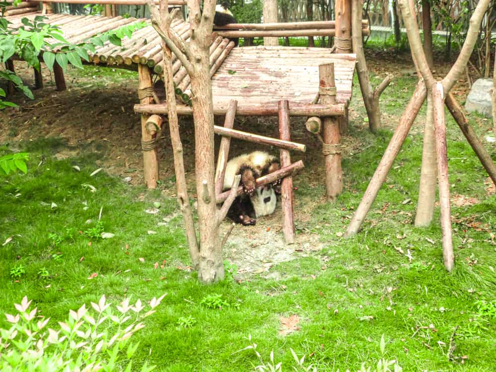Visiting Chengdu Panda centre