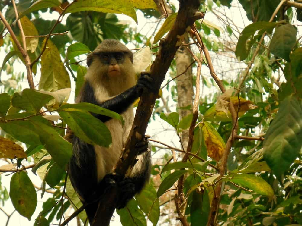 Tafi Monkey Sanctuary in Lake Volta, Ghana