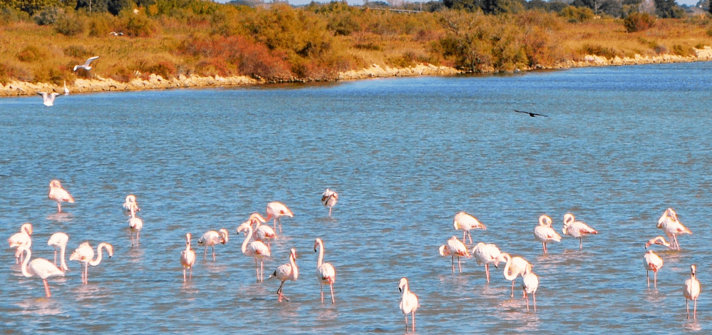 Flamingos in Palavas-les-Flottes