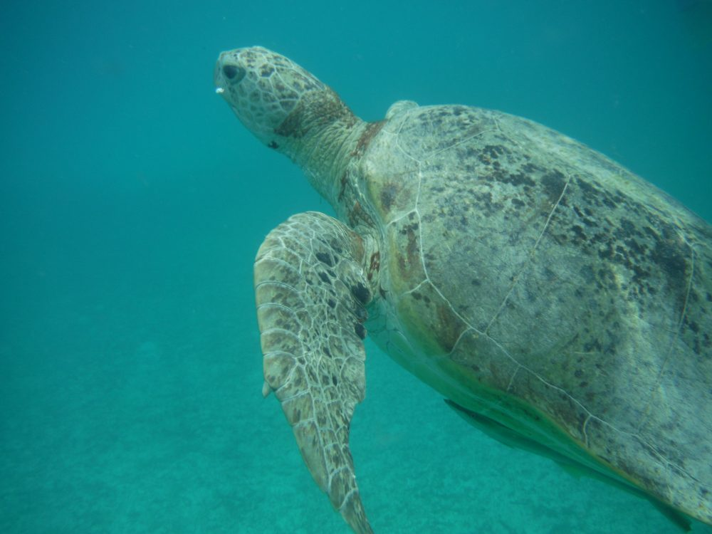 A sea turtle in the Perhentian Islands