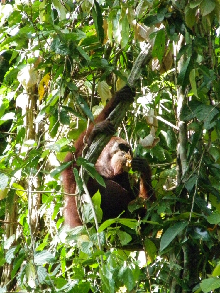 Orangutan in the Danum Valley, one of the best places to visit in Malaysia