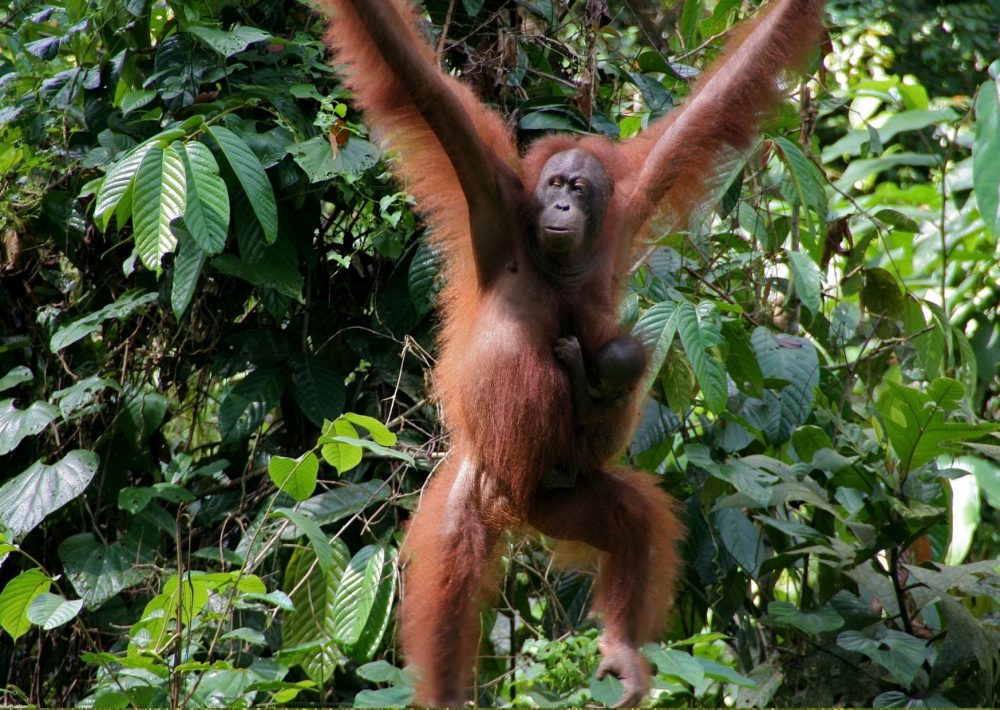 Orangutans at Sepilok