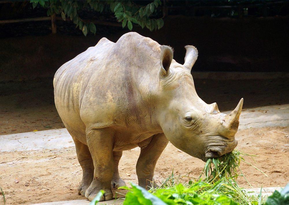 Friendly rhino in Singapore Zoo