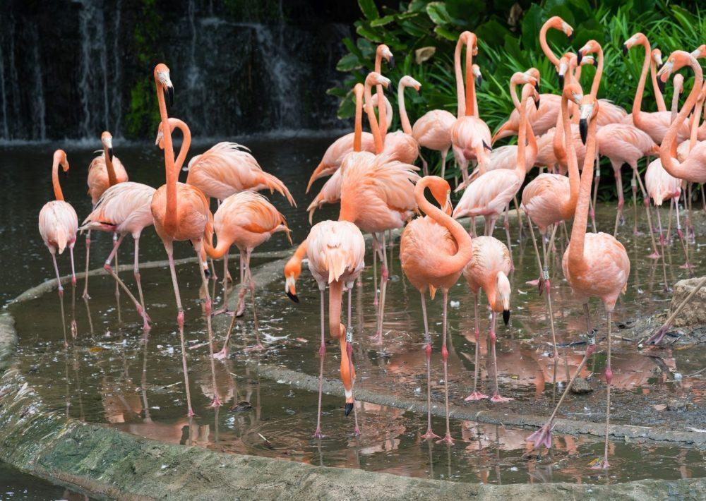 Flamingos in Singapore Zoo